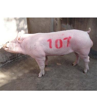 大约克种猪